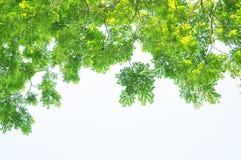 El árbol verde del verano sale de primero plano pendiente fotos de archivo