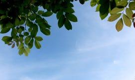El árbol verde fresco se va en el cielo azul, marco Fondo natural imágenes de archivo libres de regalías
