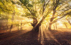 El árbol viejo mágico con el sol irradia en el bosque de niebla de la salida del sol fotografía de archivo