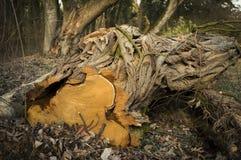 El árbol viejo redujo, se cierra para arriba Imagenes de archivo