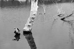 El árbol y la sombra muertos en agua Imagen de archivo libre de regalías
