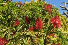 El árbol y las semillas Callistemon de la planta de la flor del Bottlebrush y pertenecen al Myrtaceae de la familia Fotos de archivo