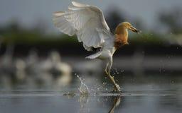 El éxito del pájaro llamativo y listo a voló otra vez imagenes de archivo