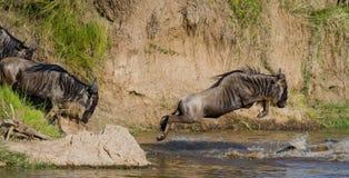 El ñu que salta en Mara River Gran migración kenia tanzania Masai Mara National Park imagen de archivo