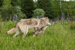 El añal de Grey Wolf (lupus de Canis) consigue lamido por el perrito Imágenes de archivo libres de regalías