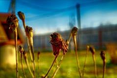 El año pasado flores en el jardín de la primavera Fotos de archivo