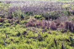 El año pasado hierba seca del ` s y nueva hierba verde en los rayos del sol poniente Imagen de archivo
