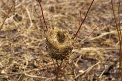 El año pasado jerarquía del ` s del pájaro del ` s en un arbusto en primavera temprana Fotos de archivo