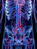 El abdomen Foto de archivo libre de regalías