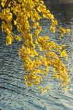 El abedul amarillo Imagenes de archivo