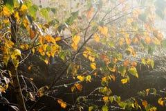 El abedul amarillo de la caída se va en foco selectivo de la rama Imagen de archivo libre de regalías