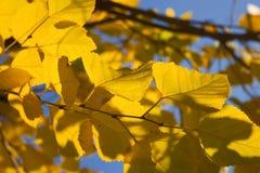 El abedul amarillo del otoño se va contra el cielo azul Imágenes de archivo libres de regalías