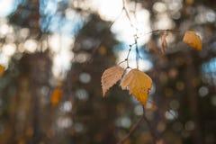 El abedul amarillo del otoño se va en un fondo borroso del cielo y del bosque Fotos de archivo libres de regalías