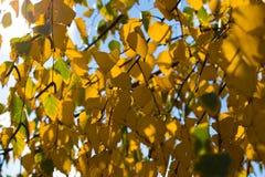 El abedul amarillo se va contra el fondo del cielo azul Imagen de archivo