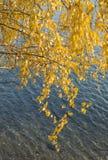 El abedul amarillo se va en un fondo del agua Fotografía de archivo libre de regalías