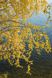El abedul amarillo se va en un fondo del agua Imagen de archivo libre de regalías