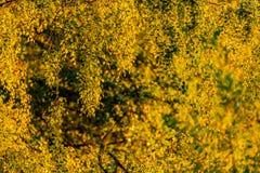 El abedul amarillo verde y de oro del otoño se va en un día soleado apenas Foto de archivo