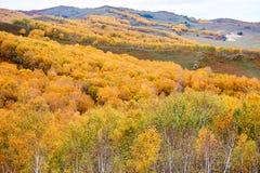 El abedul blanco del otoño en la ladera Imagenes de archivo