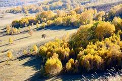El abedul blanco del otoño en el pasto Imagen de archivo