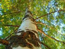 El abedul blanco en el bosque brillante Imagen de archivo libre de regalías