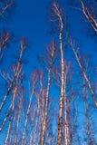 El abedul blanco ramifica en un fondo del cielo azul Imagenes de archivo