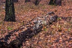 El abedul caido miente al abrigo de las hojas Foto de archivo libre de regalías