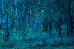 El abedul caido se inclinó contra un árbol de pino alto en un bosque de igualación corrompido Imagen de archivo libre de regalías