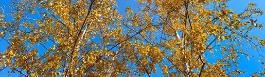 El abedul con amarillo se va contra el cielo azul Foto de archivo