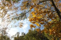 El abedul con las hojas de oro y el alerce verde en un fondo del cielo azul/del otoño ajardinan en un parque/ Imagenes de archivo
