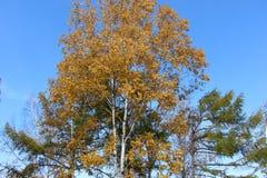 El abedul con las hojas de oro y el alerce verde en un fondo del cielo azul/del otoño ajardinan en el parque/ Foto de archivo