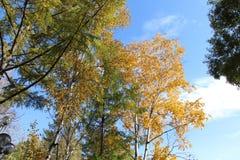 El abedul con las hojas de oro y el alerce verde en un fondo del cielo azul/del otoño ajardinan en el parque/ Fotografía de archivo libre de regalías