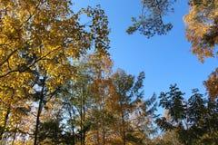 El abedul con las hojas de oro y el alerce verde en un fondo del cielo azul/del otoño ajardinan en un parque/ Imagen de archivo libre de regalías