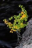 El abedul crece en la roca, otoño, Suecia Foto de archivo