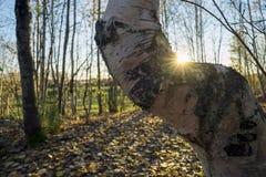 El abedul curvado en la luz del sol calienta su lado Fotos de archivo libres de regalías
