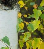 El abedul de oro se va contra el tronco blanco del árbol Fotografía de archivo libre de regalías