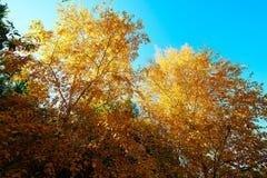 El abedul de plata de la caída y el cielo azul Fotografía de archivo libre de regalías