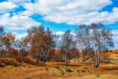El abedul de plata del otoño Imagen de archivo libre de regalías