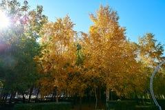 El abedul de plata del otoño Foto de archivo libre de regalías