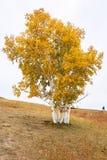 El abedul de plata del otoño en hillsdie Imágenes de archivo libres de regalías