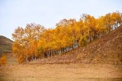 El abedul de plata del otoño en las colinas Fotos de archivo
