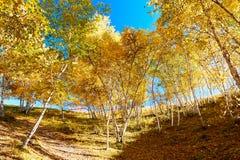 El abedul de plata del otoño en las colinas ajardina Imagen de archivo libre de regalías
