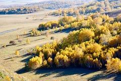 El abedul de plata del otoño en el pasto Imagenes de archivo