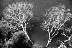 El abedul de plata en el agua del lago Fotos de archivo