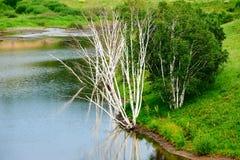 El abedul de plata en la orilla del lago Imagenes de archivo