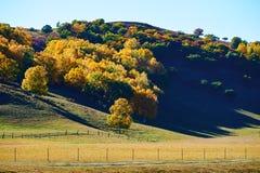 El abedul de plata de oro en la colina Fotos de archivo libres de regalías