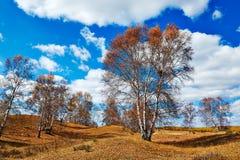 El abedul de plata y el cloudscape del otoño Fotografía de archivo