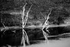 El abedul de plata y la sombra muertos en agua Fotografía de archivo