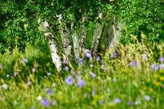 El abedul de plata y las flores salvajes en el prado Fotos de archivo libres de regalías