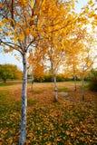 El abedul de plata y las hojas del otoño Foto de archivo