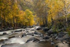 El abedul de río empiedra otoño Imagenes de archivo